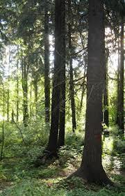 Scandinavian Spruce